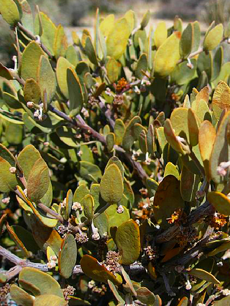 jojoba plant and its uses Jojoba oil is expressed from the seed of the jojoba plant, it is a shrub found in southern california, arizona, and northwest mexico the oil has a long shelf-life which makes it ideal for use in body care products.